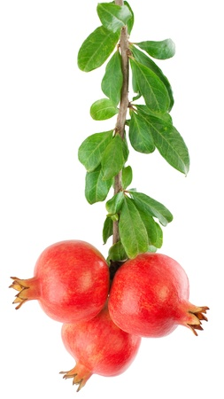 Pomegranate fruits on a branch with leaves isilated on a white background