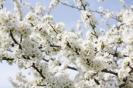 Bunches of plum blossom with white flowers against the blue sky photo