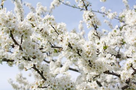 Trauben von Pflaumenblüte mit weißen Blumen gegen den blauen Himmel Standard-Bild