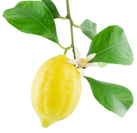 Lemon  on a branch with leaves and a flower Isolated on a white background Stock Photo