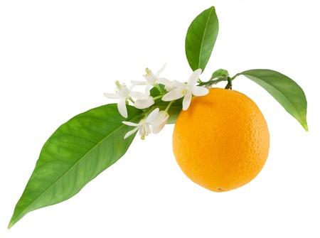 Orange en una rama con hojas y flores de un Aislado en un fondo blanco