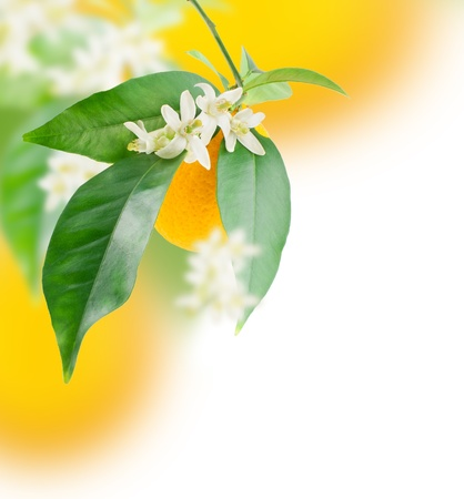 citrus plant: Orange and flower growing   Design border  over white  Stock Photo