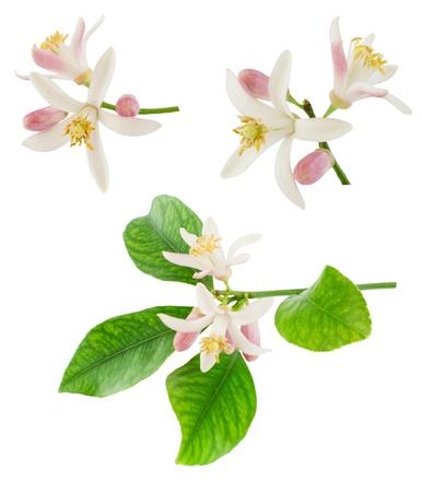 Set van citroen bloem met bladeren geà ¯ soleerd op een witte achtergrond Stockfoto