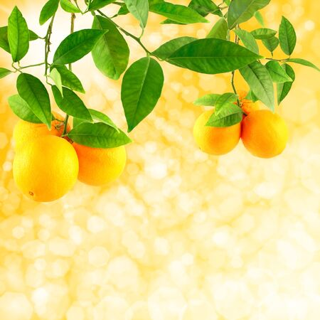 citrus tree: Sunshine background  with oranges growing on tree branches.