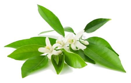citricos: Florecimiento de la rama de un �rbol de naranja con hojas aisladas sobre un fondo blanco