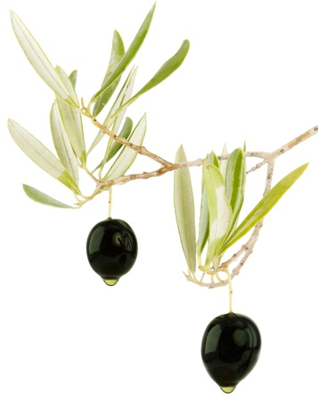 Olives on a branch of an olive tree with leaves with oil drops isolated on a white background.  photo