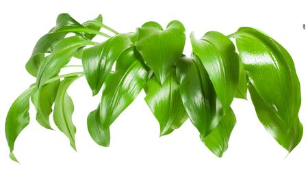 Big green leaves  of a plant Eucharis. Isolated on white background.