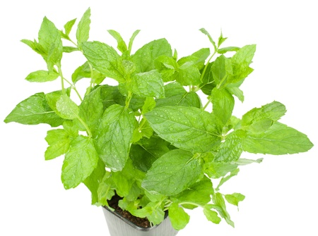 Mint herb growing in a  pot  isolated  on white background photo