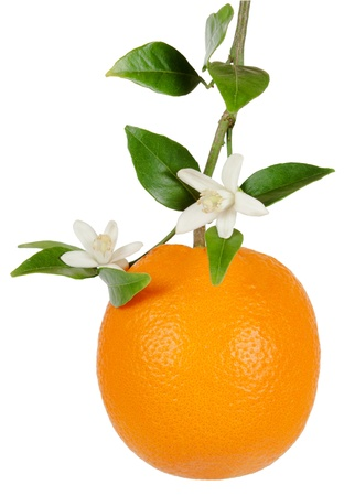 Oranges on a branch with  flower and  leaves. Isolated on a white background  Stock Photo