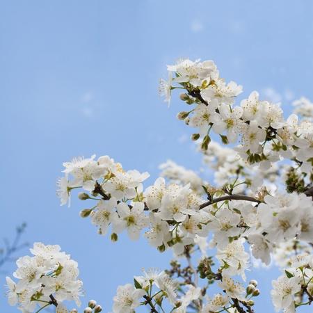 Trauben Von Pflaumenblüte Mit Weißen Blumen Gegen Den Blauen Himmel ...