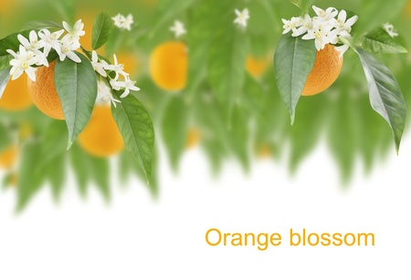 citrus plant: Blossoming branches of an  orange tree with fruits  on white background  Stock Photo