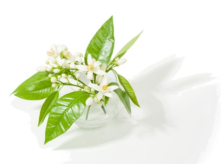 orange blossom: beautiful orange blossoms  in a round  transparent  glass vase  on the white