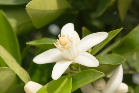 flower of an orange tree among leaves. Close up.  Stock Photo