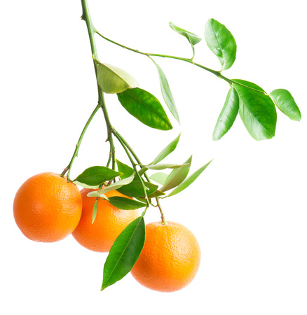 branch with fresh ripe orange fruits, isolated on white background  Stock Photo