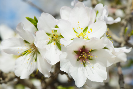 almond bud:  A closeup of an almond tree with white flowers