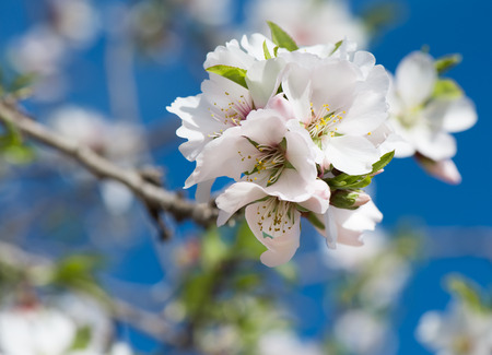 almond bud: Detail of blossomed almond tree branch with white flowers against deep blue sky