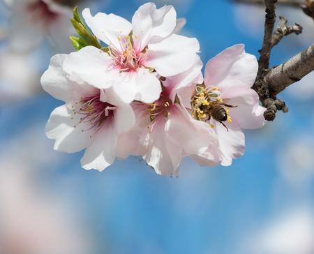 Un primo piano di un mandorlo con fiori rosa con api contro il cielo blu profondo