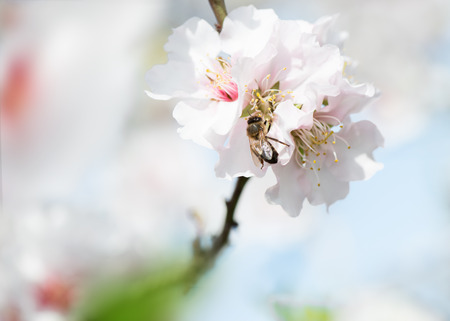 almond tree with   flowers with bee   Close up Stock Photo