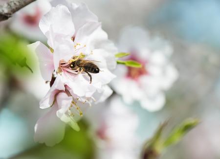 Un primo piano di un mandorlo con fiori rosa con api
