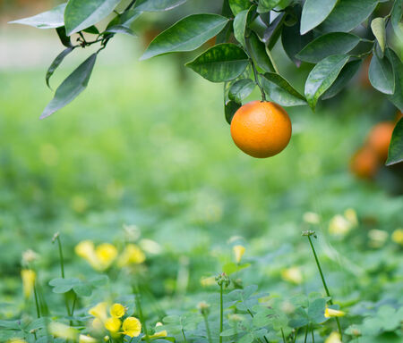 Oranges hanging on a tree,  herb with flowers on the background Stock Photo