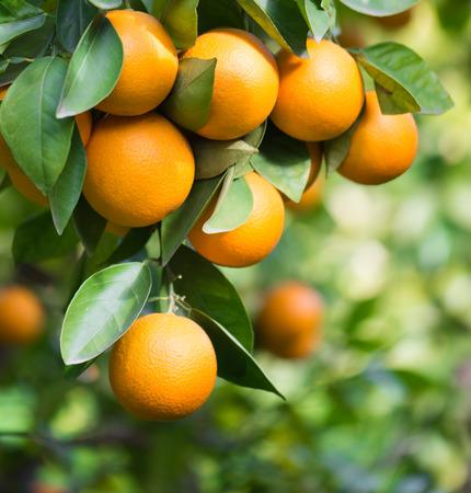 Oranje bomen met vruchten op plantage Stockfoto