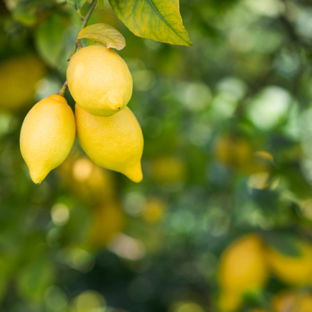 lemon tree: yellow lemons hanging on tree
