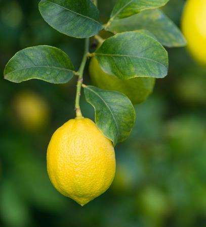 Ripe  lemon on a tree. Close-up, shallow DOF.  photo