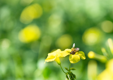 honey bee eating nectar on yellow flower. closeup photo