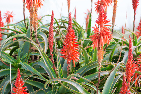 Orange flowers on Aloe arborescens  in nature