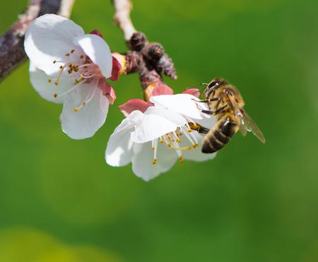 Bee op een bloeiende tak van abrikoos Stockfoto
