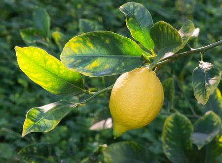 starr: Reife Zitronen auf einem Baum. Starre Licht.