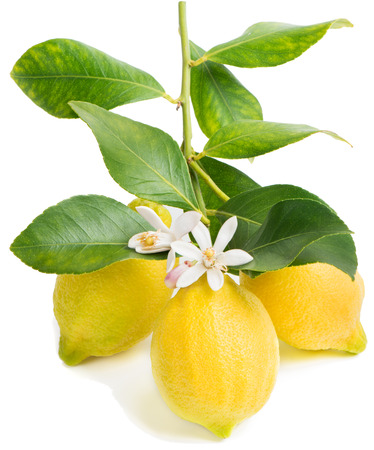 Blossoming branch of a lemon tree with three fruits. Isolated over white.