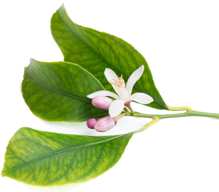 Blossoming branch of a lemon tree and green leaves. Isolated over white. photo