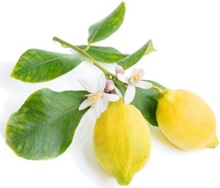 Bloeiende tak van een citroen boom met twee vruchten. Geïsoleerde over wit. Stockfoto