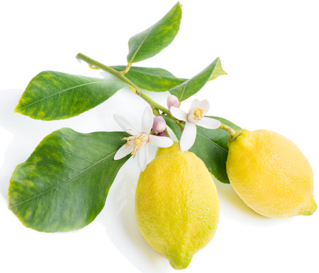 Blossoming branch of a lemon tree with two fruits. Isolated over white. photo