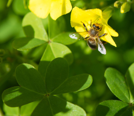 oxalidaceae: Honey Bee collecting pollen from flowers.