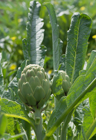 thistle plant:  Artichoke plants grow in the garden. close up