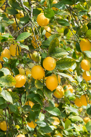 lemon tree: Yellow lemons on a background of foliage and buds.