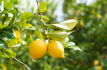 Two yellow lemons on a background of lemon trees in garden.  版權商用圖片
