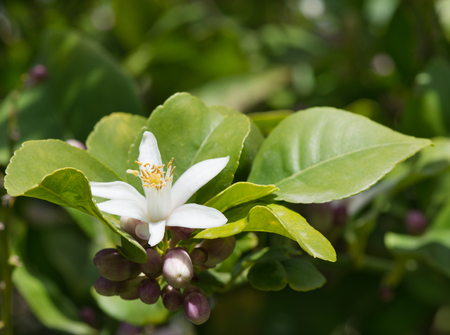 lemon tree: Flower and buds of  lemon tree among leaves  Close up   Stock Photo