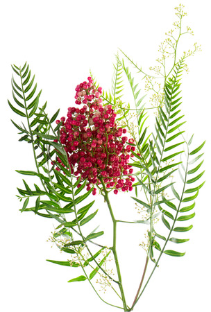 peppertree: Blossoming branch of a  Peruvian pepper tree ( Schinus molle L.) with leaves and fruits. Isolated over white.