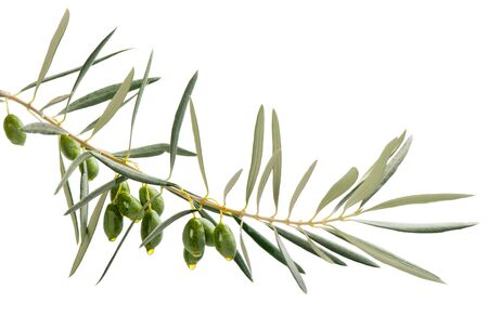 A branch and drops of olive oil falling from some green olives  isolated on white Stockfoto