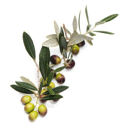 Branch of olive tree with  olives isolated on a white background