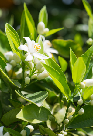 orange blossom: Orange blossom and buds in spring orchard Stock Photo