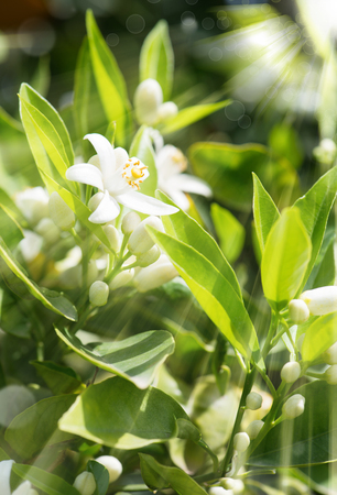tangerine tree: Orange blossom and buds in spring orchard with rays of sun Stock Photo