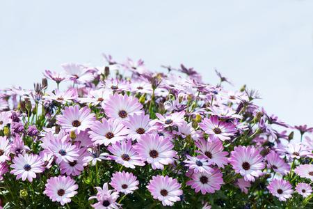 african daisy: Big bunch of purple African daisy flower ( Osteospermum L.) against blue sky.