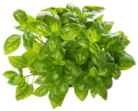 basil: Top view of fresh basil plant  isolated on a white background Stock Photo