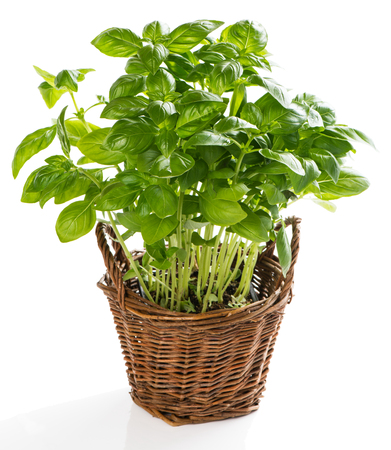 basil herb: Basil plant in the basket isolated on a white background Stock Photo