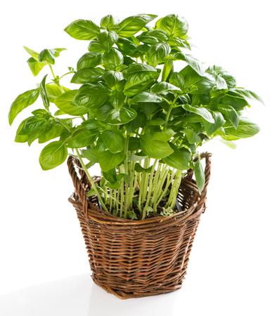 albahaca: Planta de la albahaca en la cesta aislada en un fondo blanco