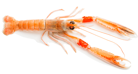 norvegicus: Top view of raw langoustine isolated on white  background. Stock Photo